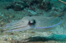 Squid cuttlefish underwater