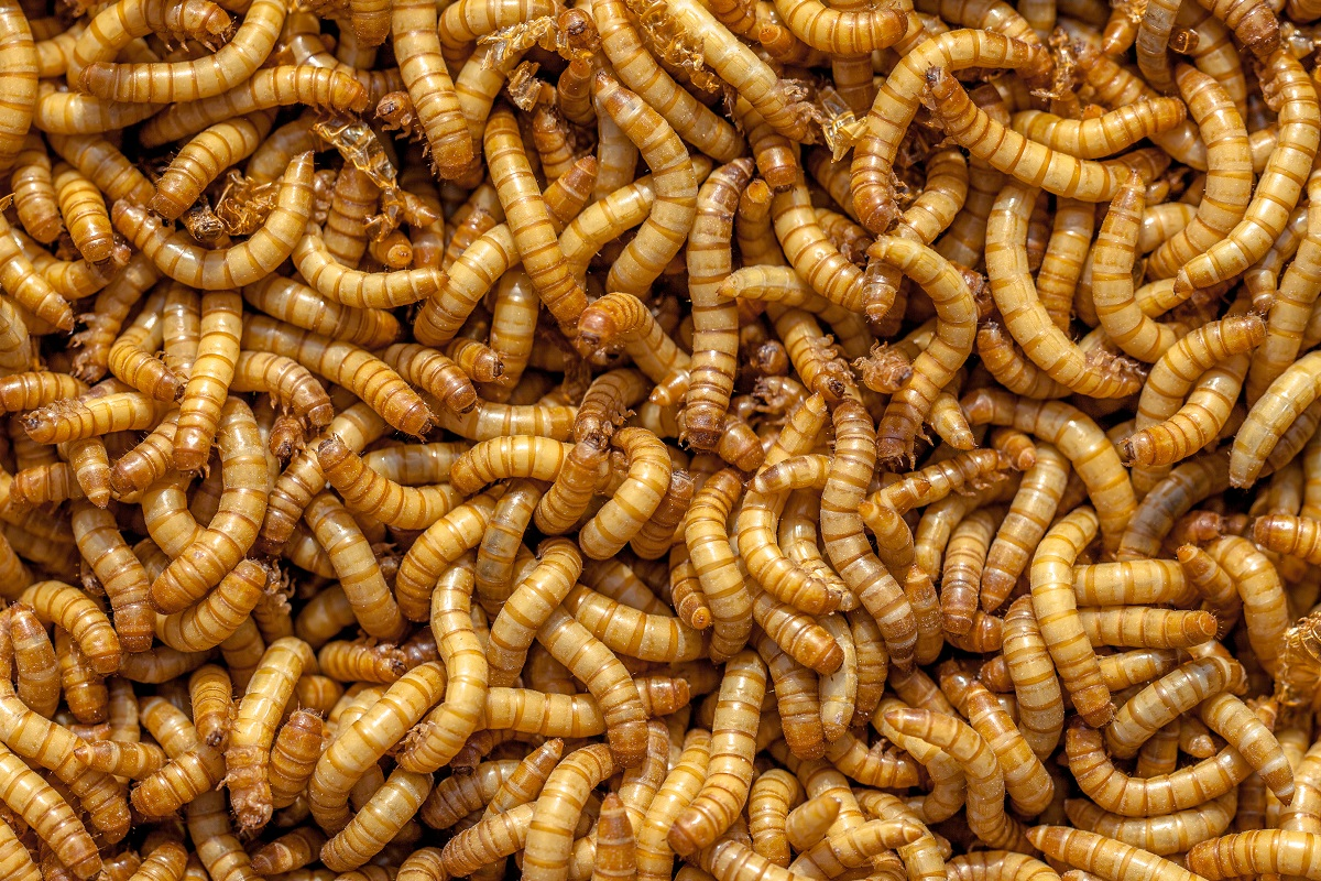 Living Mealworms