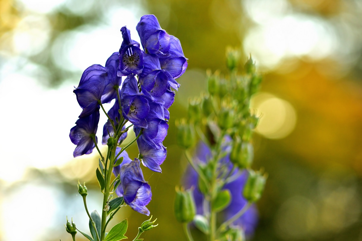 Close-up of bloom of Aconitum napellus also known as aconite, monkshood, wolf's-bane, leopard's bane, mousebane, women's bane, devil's helmet, queen of poisons, or blue rocket