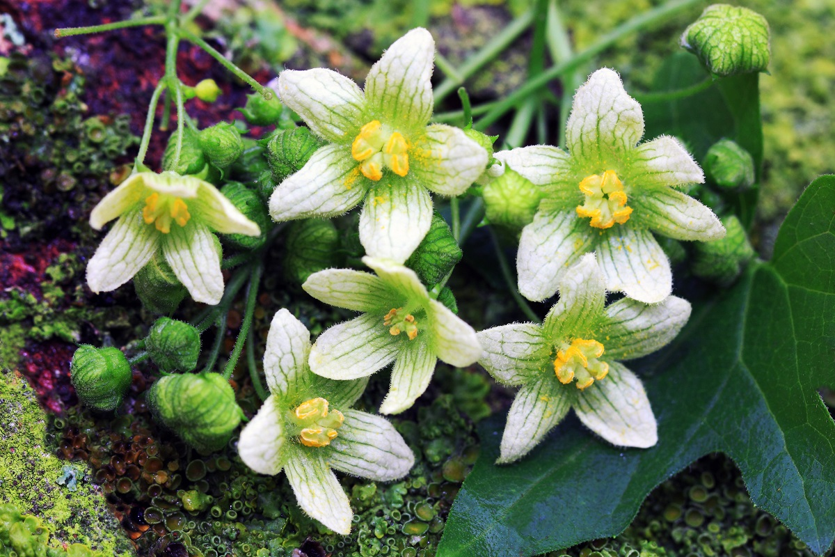 Bryonia dioica wildflowers