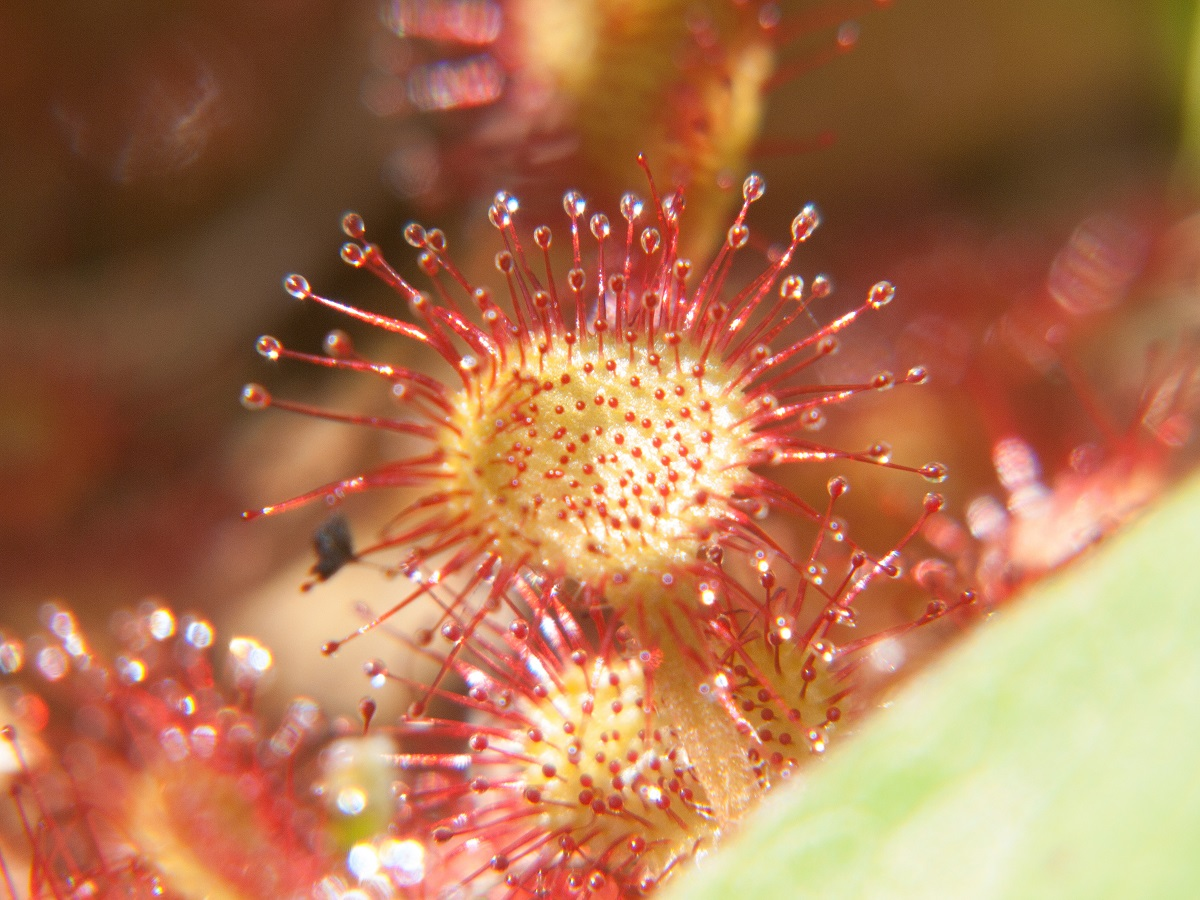 drosera rotundifolia,loire, france